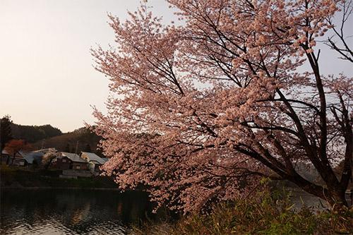 #036 山人スタッフの桜のおすすめは?